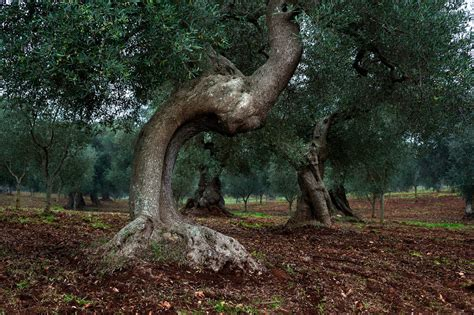 Italy's Treasured Olive Oil, at the Source - The New York