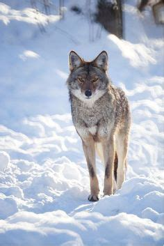 Melanistic coyotes are usually not true coyotes, but dog
