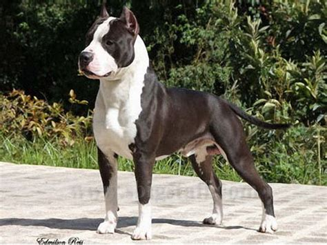 Amstaff Pedigree Database   Hip: Not known - Elbows: Not known