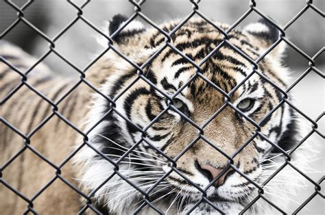 Image libre: Animal, gros chat, tigre, sauvage, cage