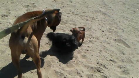 Presa Canario Attacked by Wild Dogs - YouTube